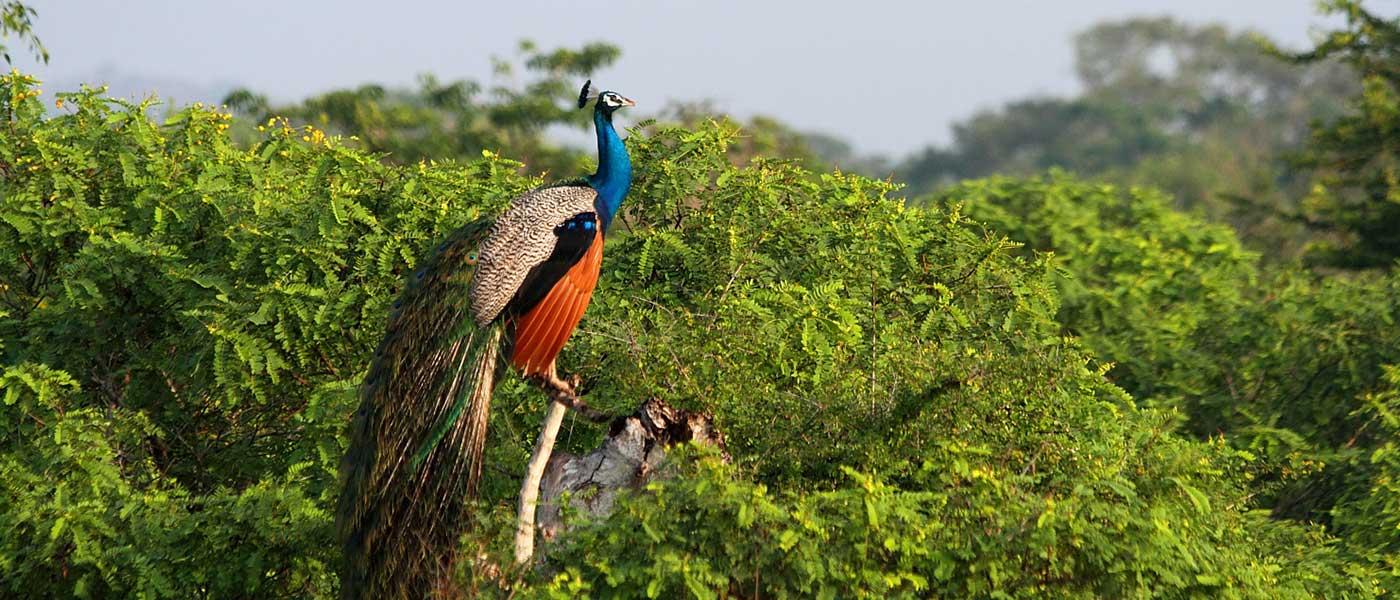 Yala National Park  Yala Safari National Park  Sri Lanka Yala Park